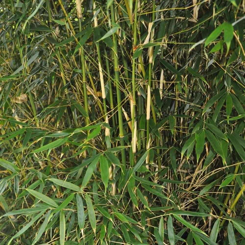 Bambou moyen fargesia 39 pingwu 39 plantes et jardins for Jardin et plantes