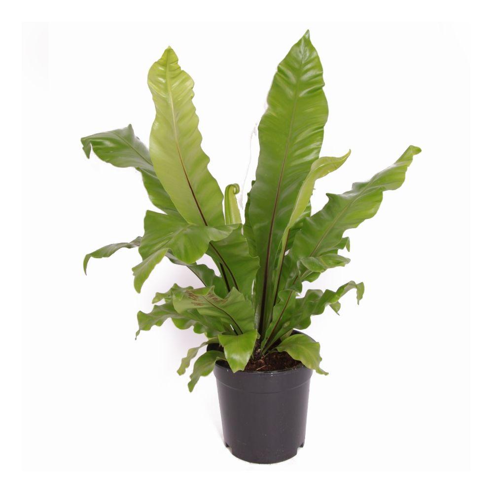 Foug re asplenium nidus plantes et jardins for Plantes et jardins avis