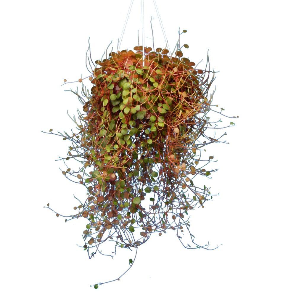 peperomia 39 pepperspotted 39 en suspension plantes et jardins. Black Bedroom Furniture Sets. Home Design Ideas