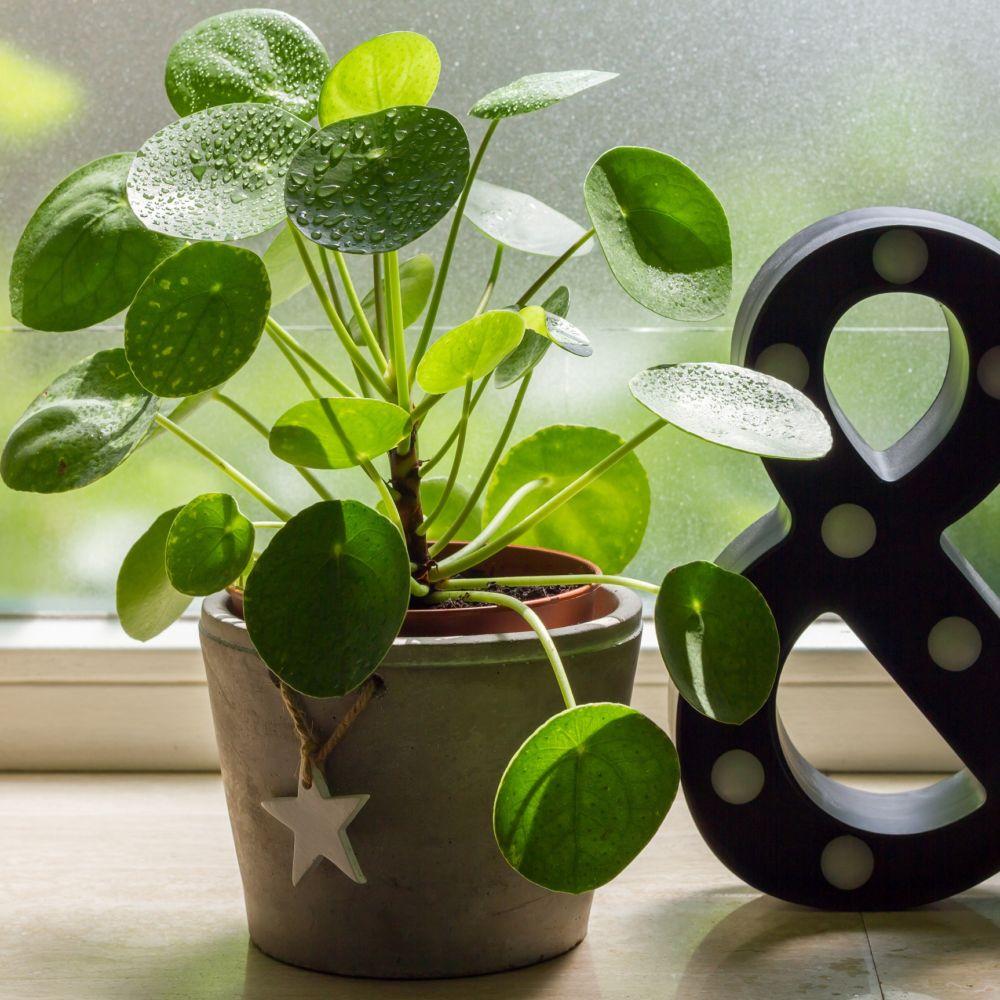 pilea plantes et jardins. Black Bedroom Furniture Sets. Home Design Ideas