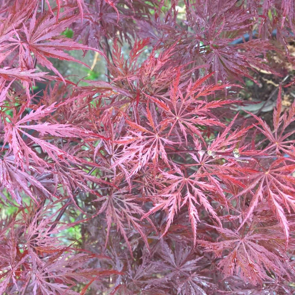 Erable du japon 39 crimson queen 39 plantes et jardins - L erable du japon ...
