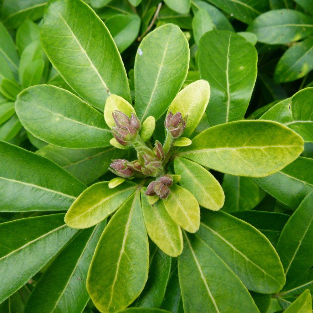 Oranger du mexique plantes et jardins for Achat plante jardin