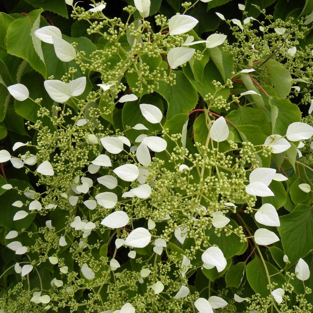 Hortensia grimpant du japon plantes et jardins for Plante et jardin catalogue