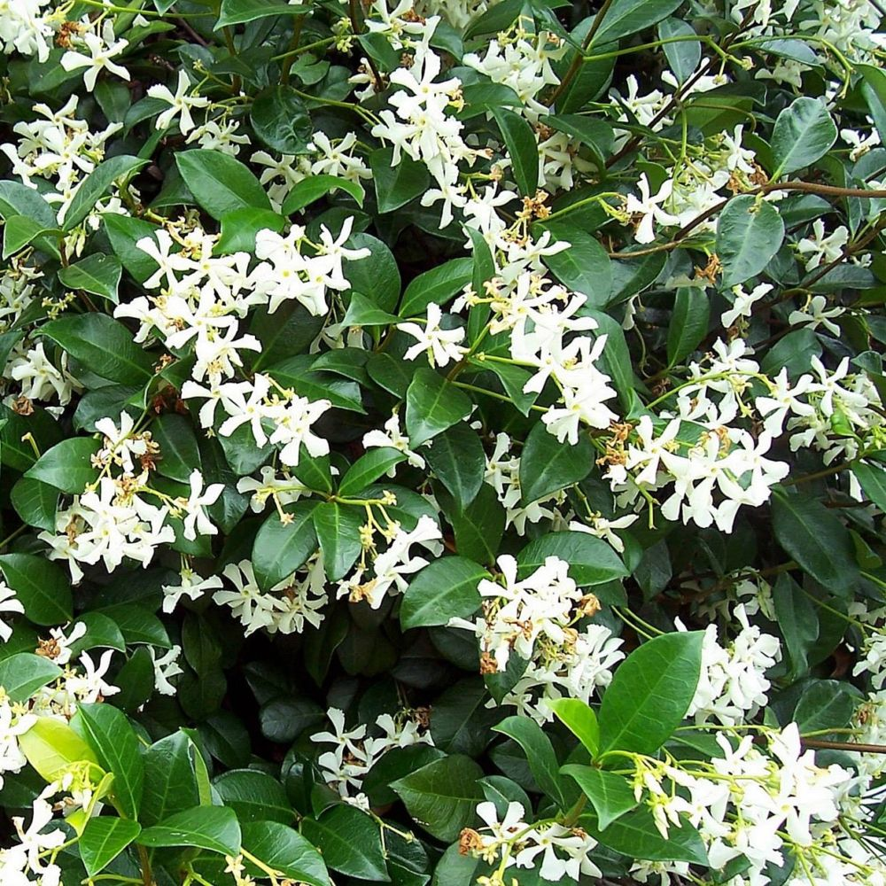Jasmin persistant plantes et jardins for Plantes et jardins adresse