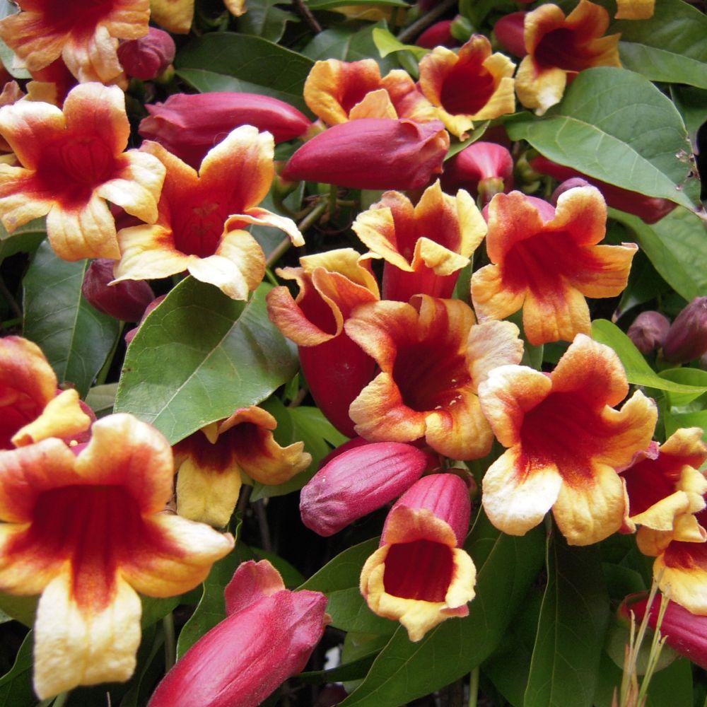 Bignone 39 capreolata 39 plantes et jardins - Plante fleurie grimpante ...