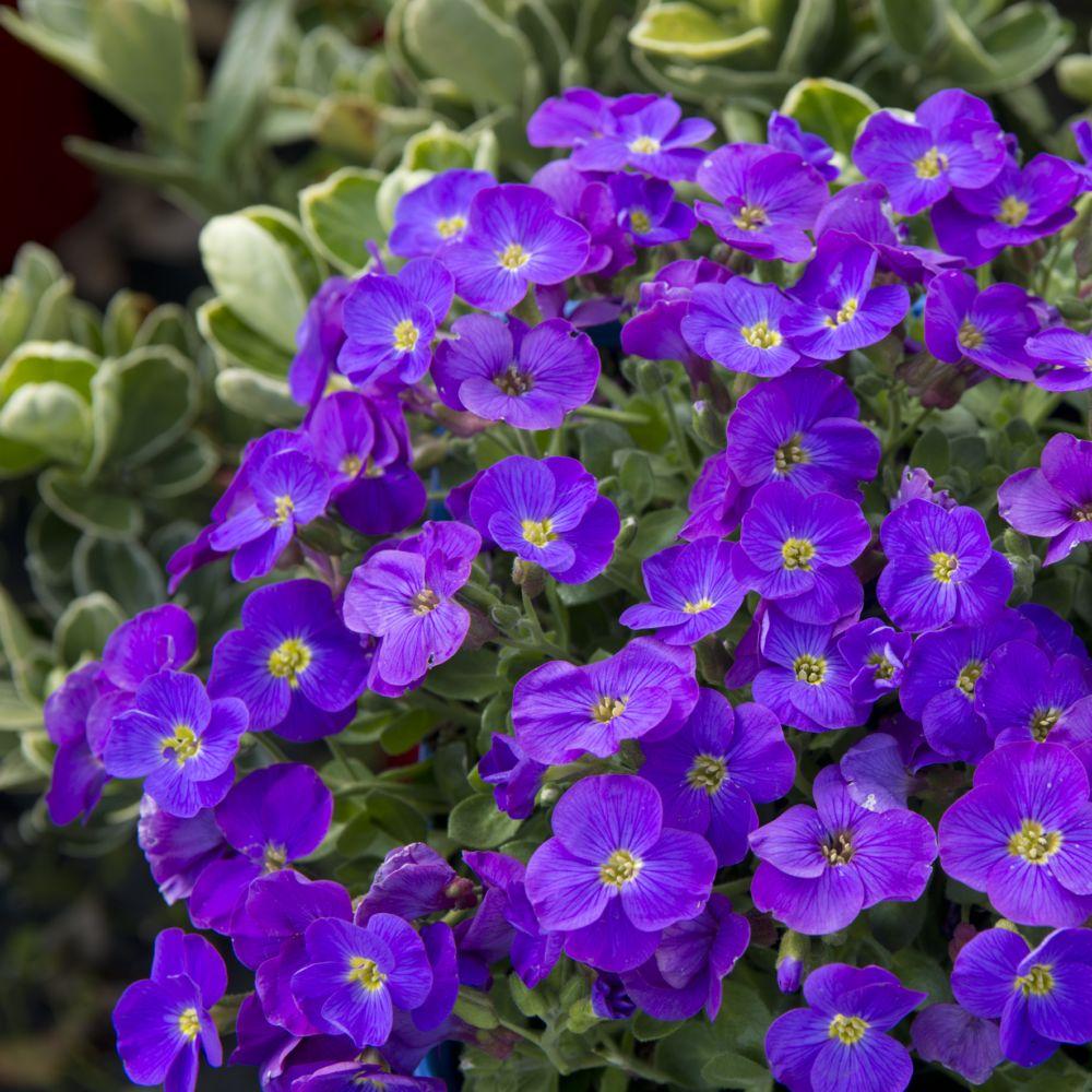 Aubrieta violette plantes et jardins - Image fleur violette ...