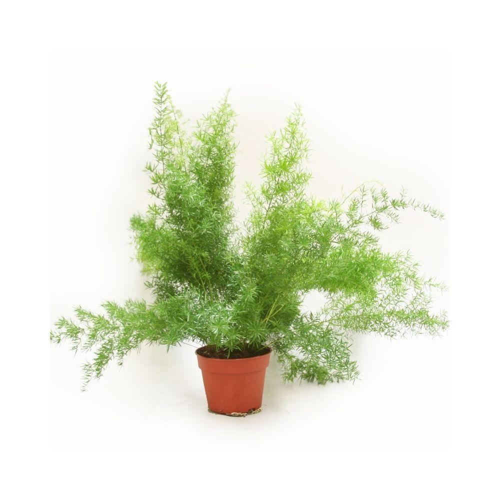 Asparagus 39 sprengeri 39 plantes et jardins for Jardin et plantes