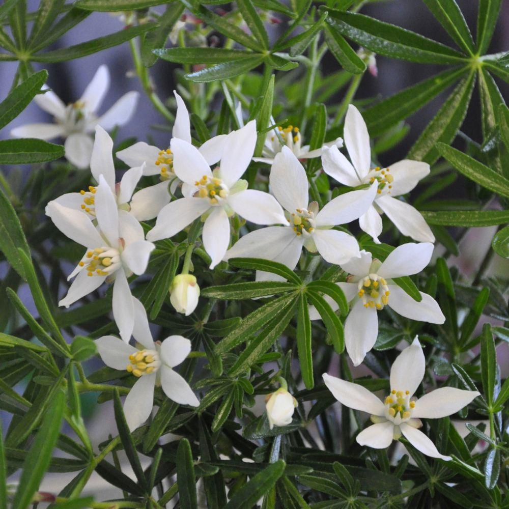 Oranger du mexique snow flurries plantes et jardins - Plante du mexique ...
