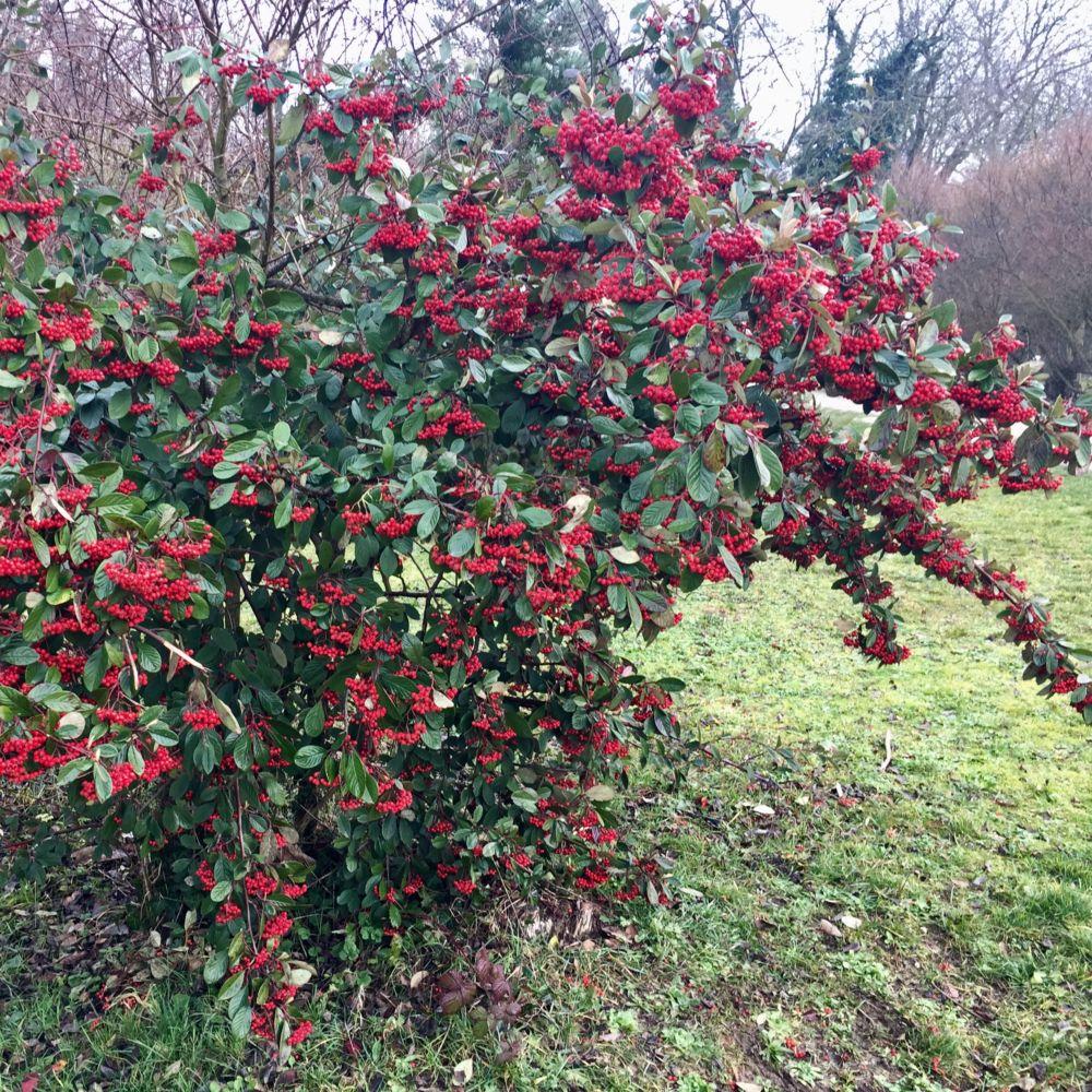 Cotoneaster lactea plantes et jardins for Plantes et jardins adresse