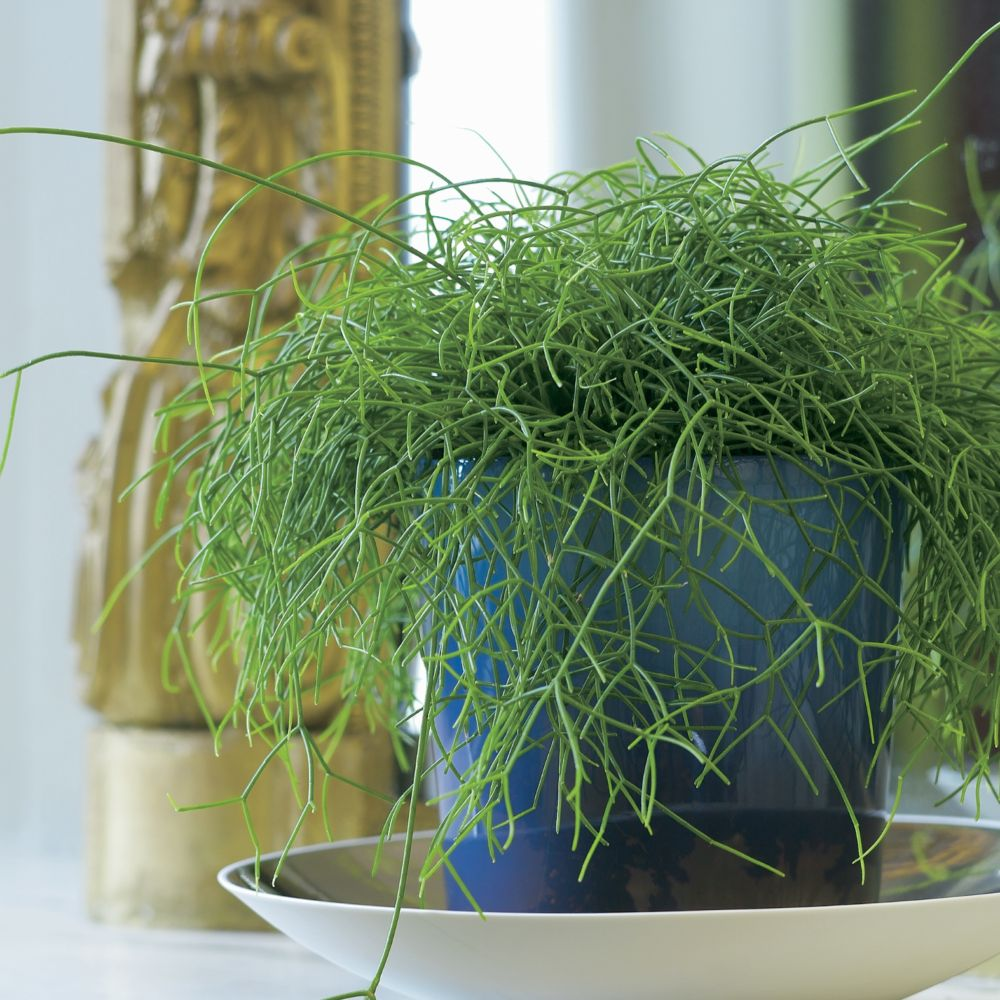 rhipsalis plantes et jardins. Black Bedroom Furniture Sets. Home Design Ideas