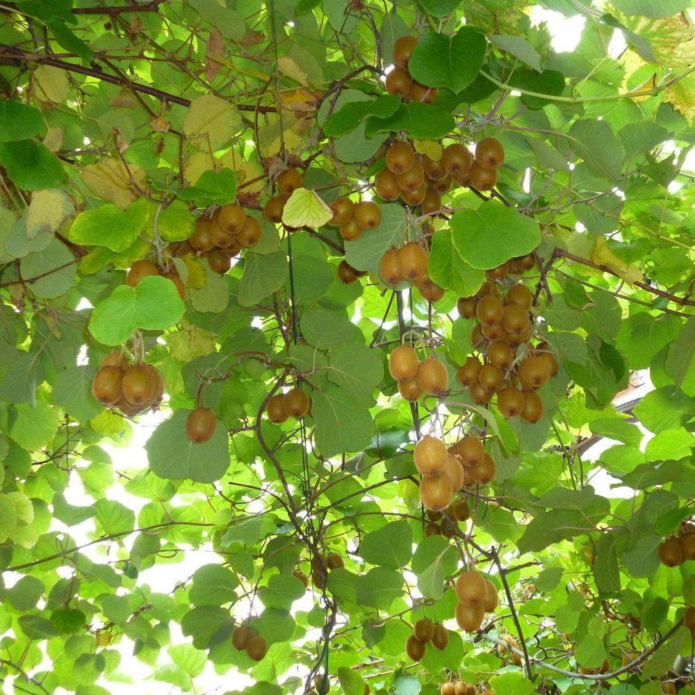 Kiwi autofertile 39 solissimo 39 plantes et jardins - Plante et jardins ...