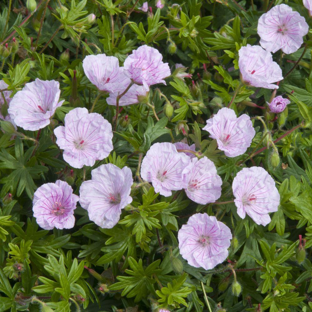geranium sanguin rose vein 39 lancastriense 39 plantes et jardins. Black Bedroom Furniture Sets. Home Design Ideas