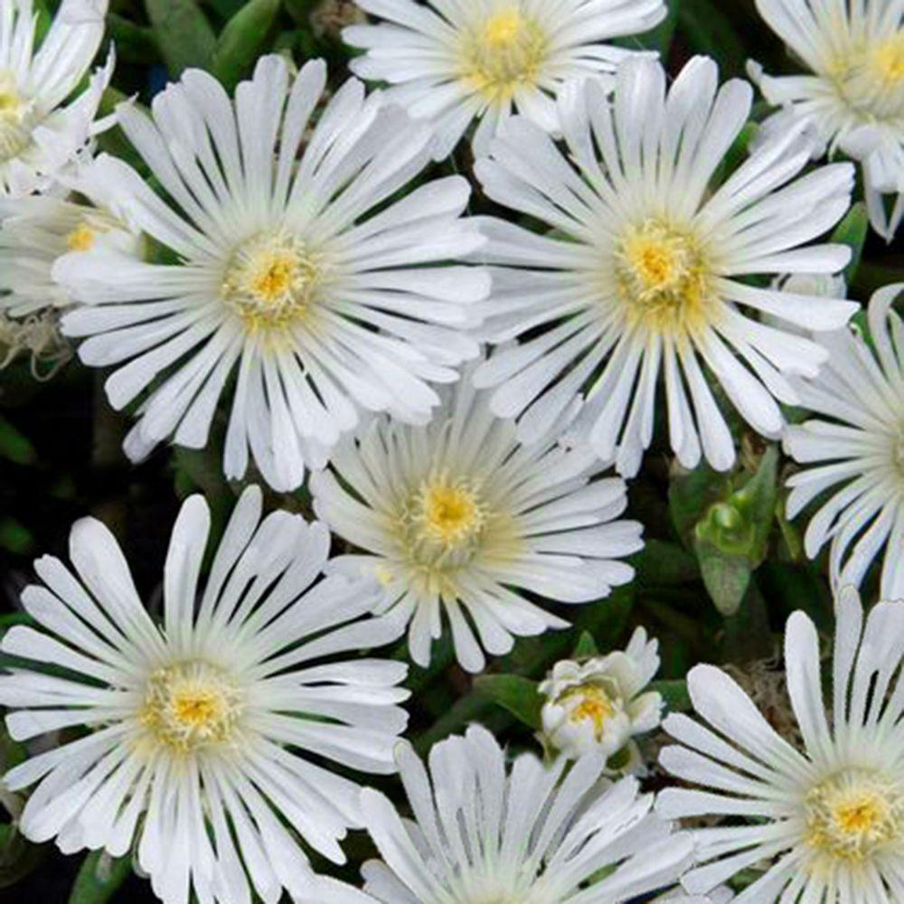 pourpier vivace wow 39 white wonder 39 plantes et jardins. Black Bedroom Furniture Sets. Home Design Ideas