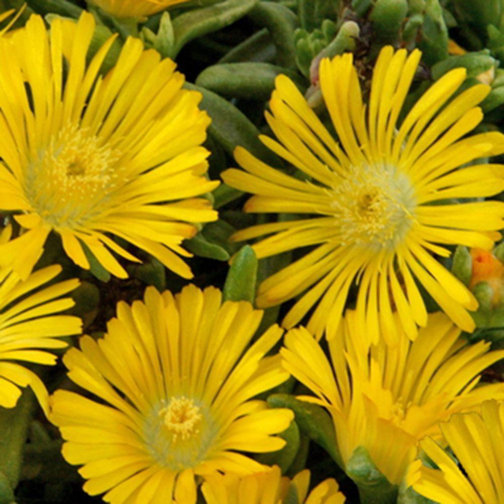 Pourpier vivace wow 39 yellow wonder 39 plantes et jardins - Fleurs vivaces longue floraison ...