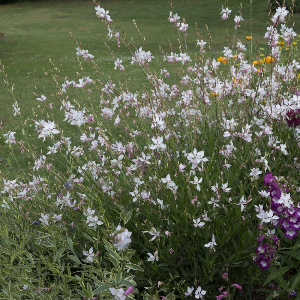 Gaura naine 39 short form 39 plantes et jardins for Fleurs blanches vivaces