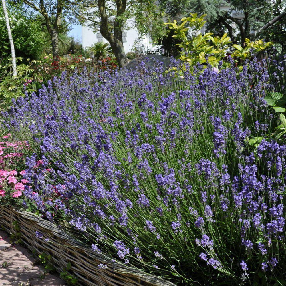 Lavande officinale plantes et jardins for Lavande interieur