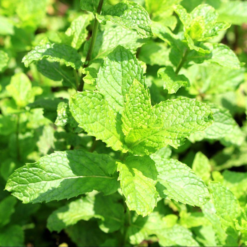 Menthe marocaine plantes et jardins for Plante et jardins