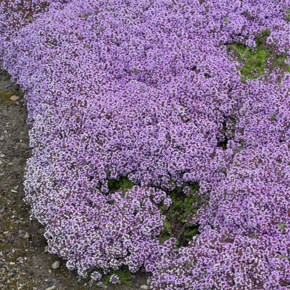 Thym serpolet plantes et jardins - Phlox vivace couvre sol ...