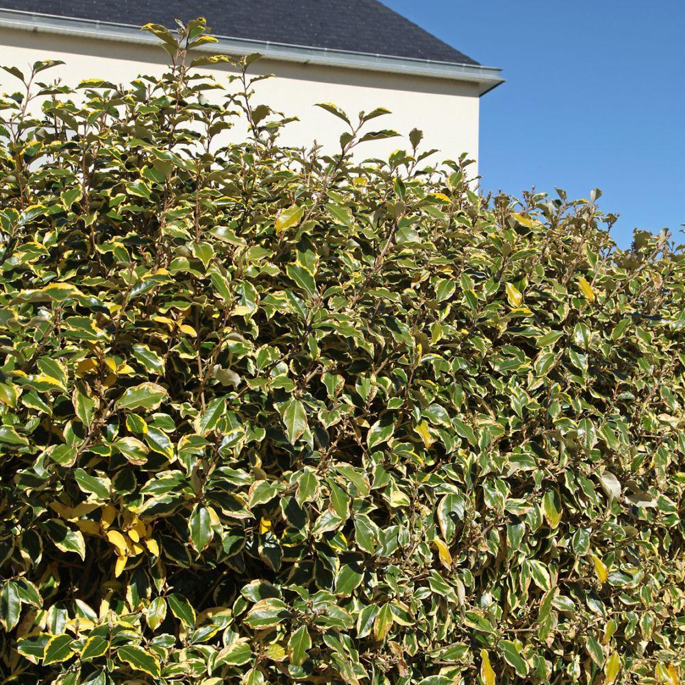 Elaeagnus 39 viveleg 39 plantes et jardins - Plante et jardins ...