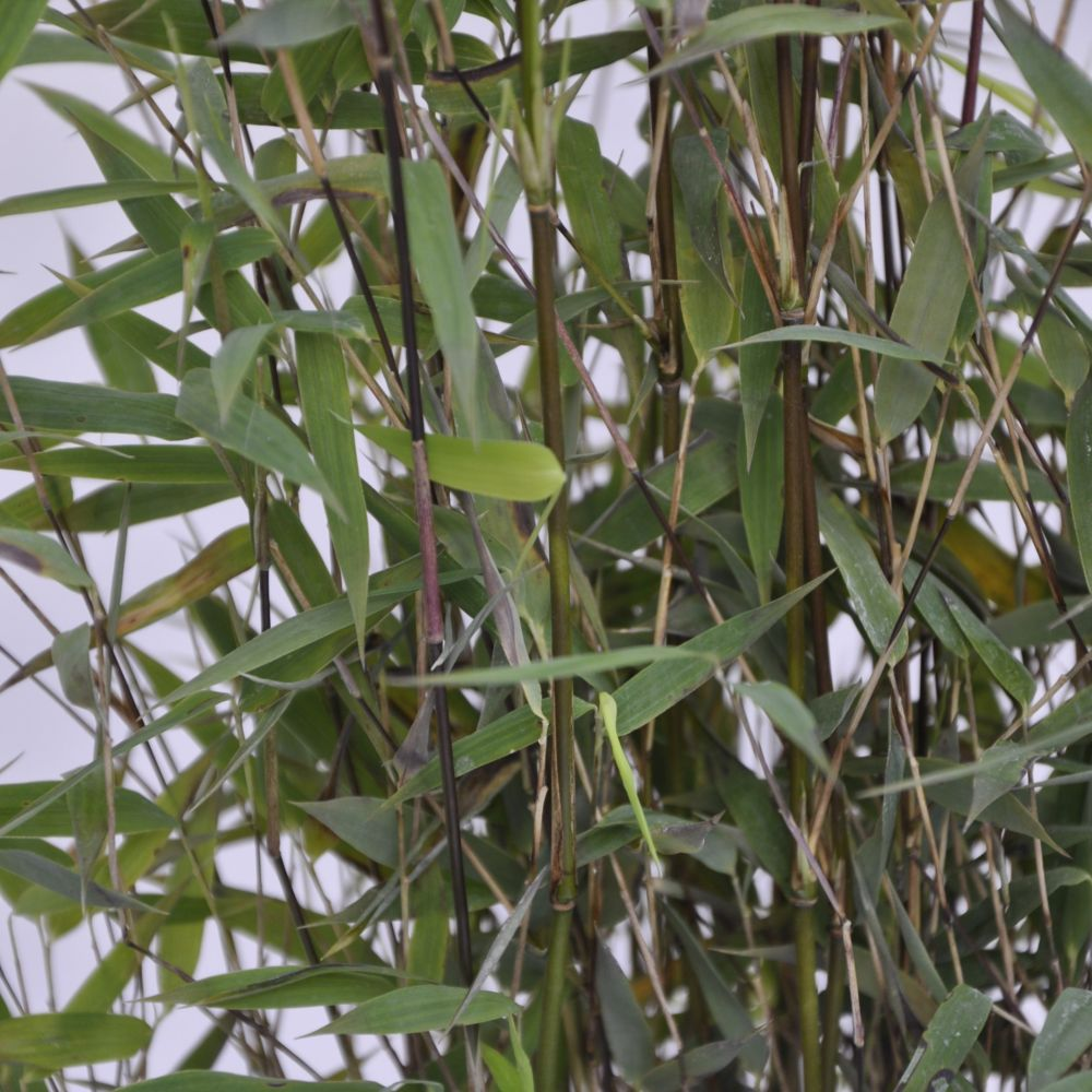 bambou non tra ant fargesia 39 red dragon 39 plantes et jardins. Black Bedroom Furniture Sets. Home Design Ideas