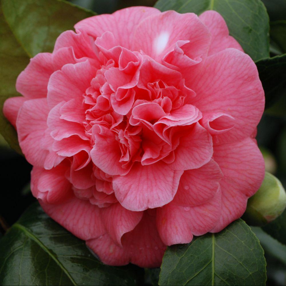 cam lia 39 triumphant 39 collection 1900 plantes et jardins. Black Bedroom Furniture Sets. Home Design Ideas