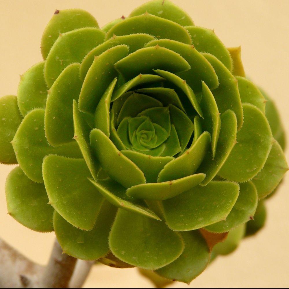 aeonium arboreum plantes et jardins. Black Bedroom Furniture Sets. Home Design Ideas