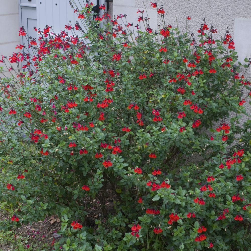 sauge grahamii rouge velours intense plantes et jardins. Black Bedroom Furniture Sets. Home Design Ideas