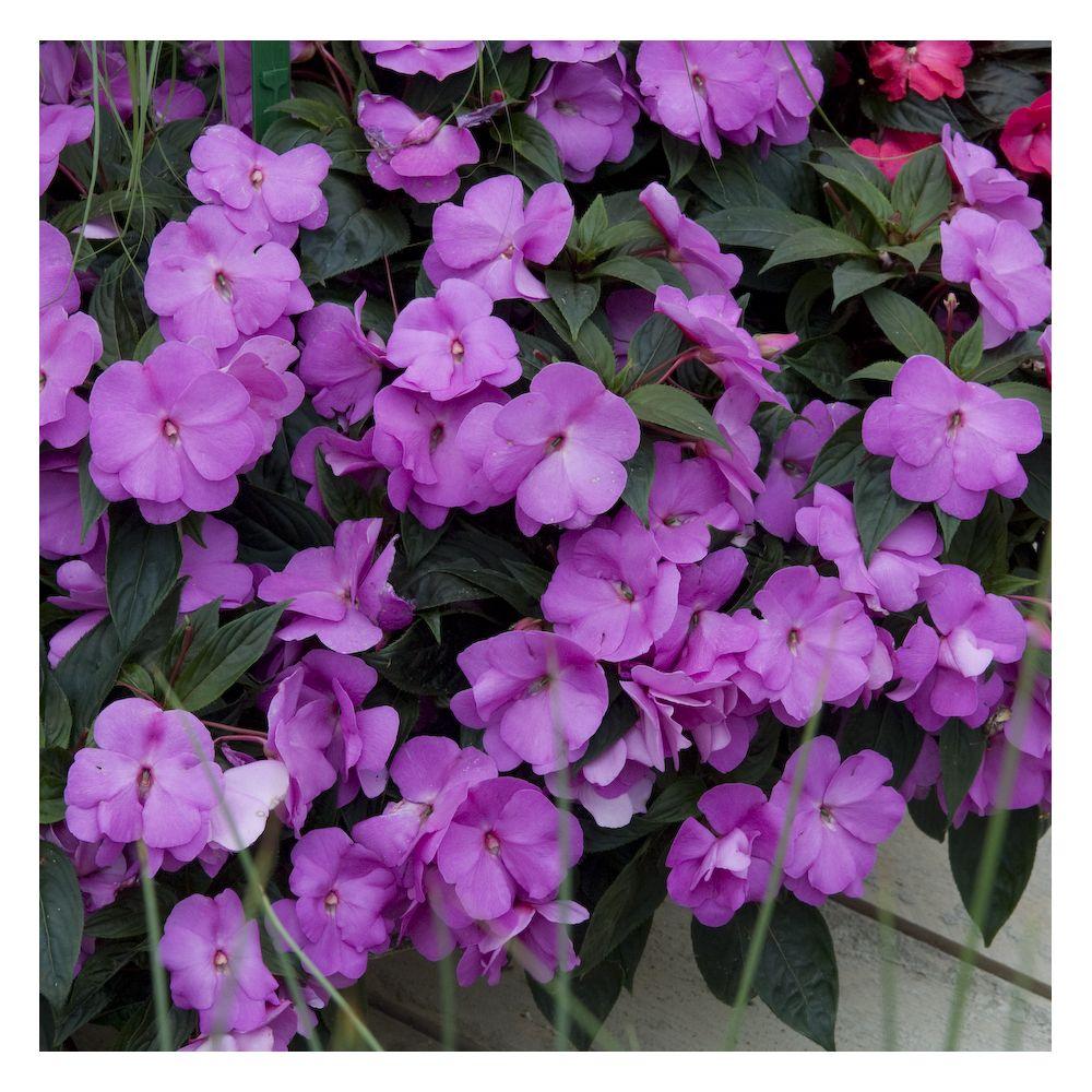 Impatiens de nouvelle guinee mauve plantes et jardins - Impatiens de nouvelle guinee ...
