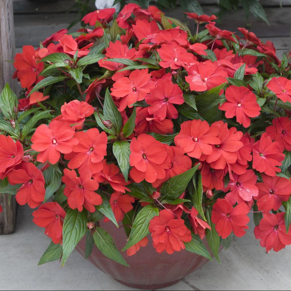 Impatiens de nouvelle guinee rouge plantes et jardins - Impatiens de nouvelle guinee ...