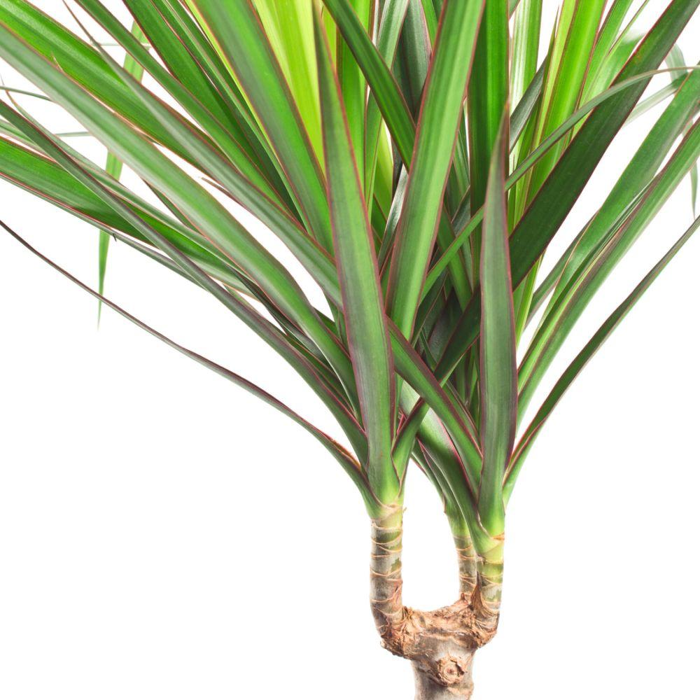 Plante D Interieur Dracaena