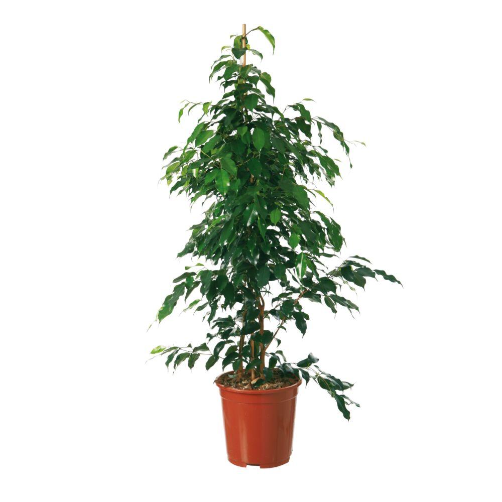 Ficus 39 daniel 39 140 150 cm plantes et jardins for Plante 150 maladies madagascar