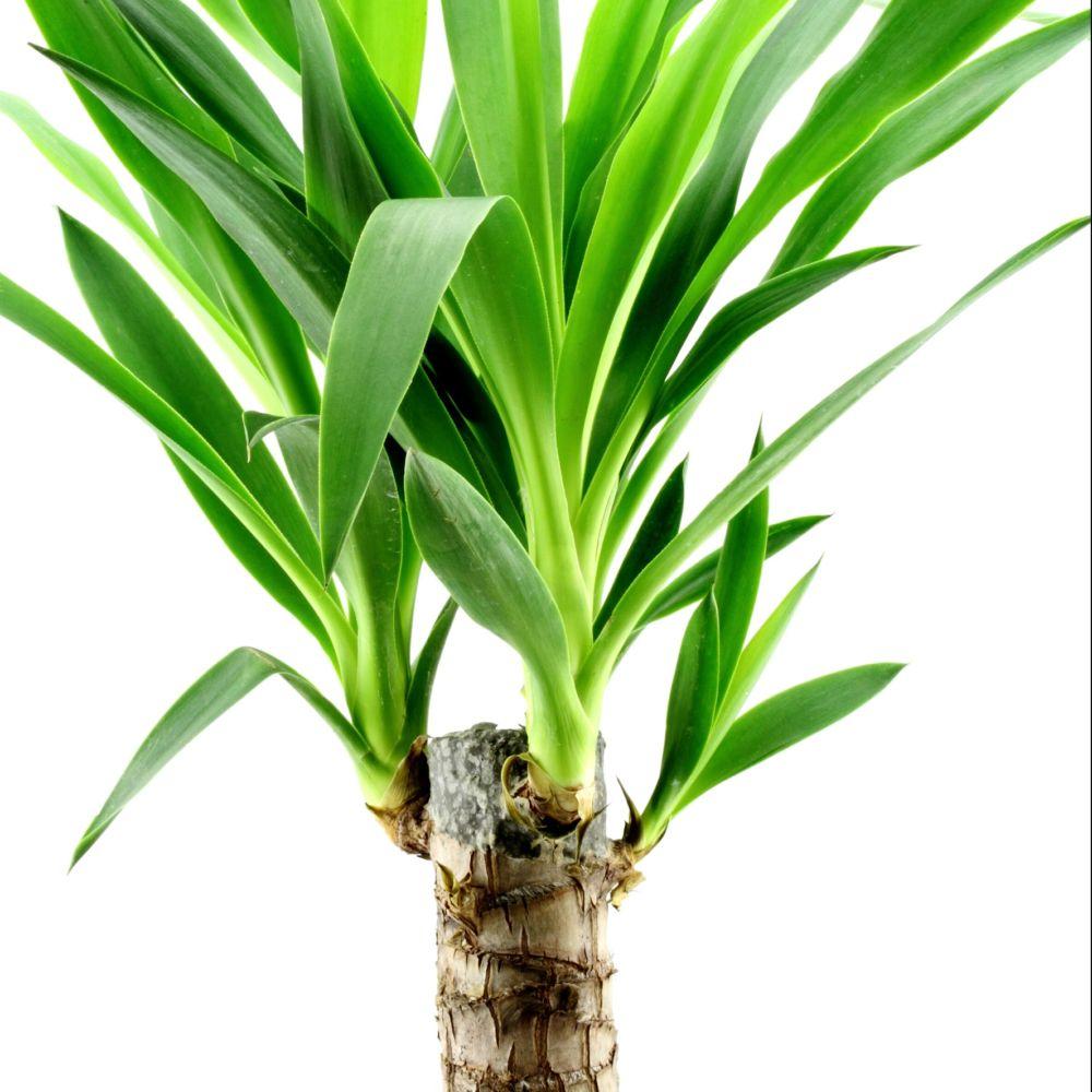 yucca 2 cannes plantes et jardins. Black Bedroom Furniture Sets. Home Design Ideas