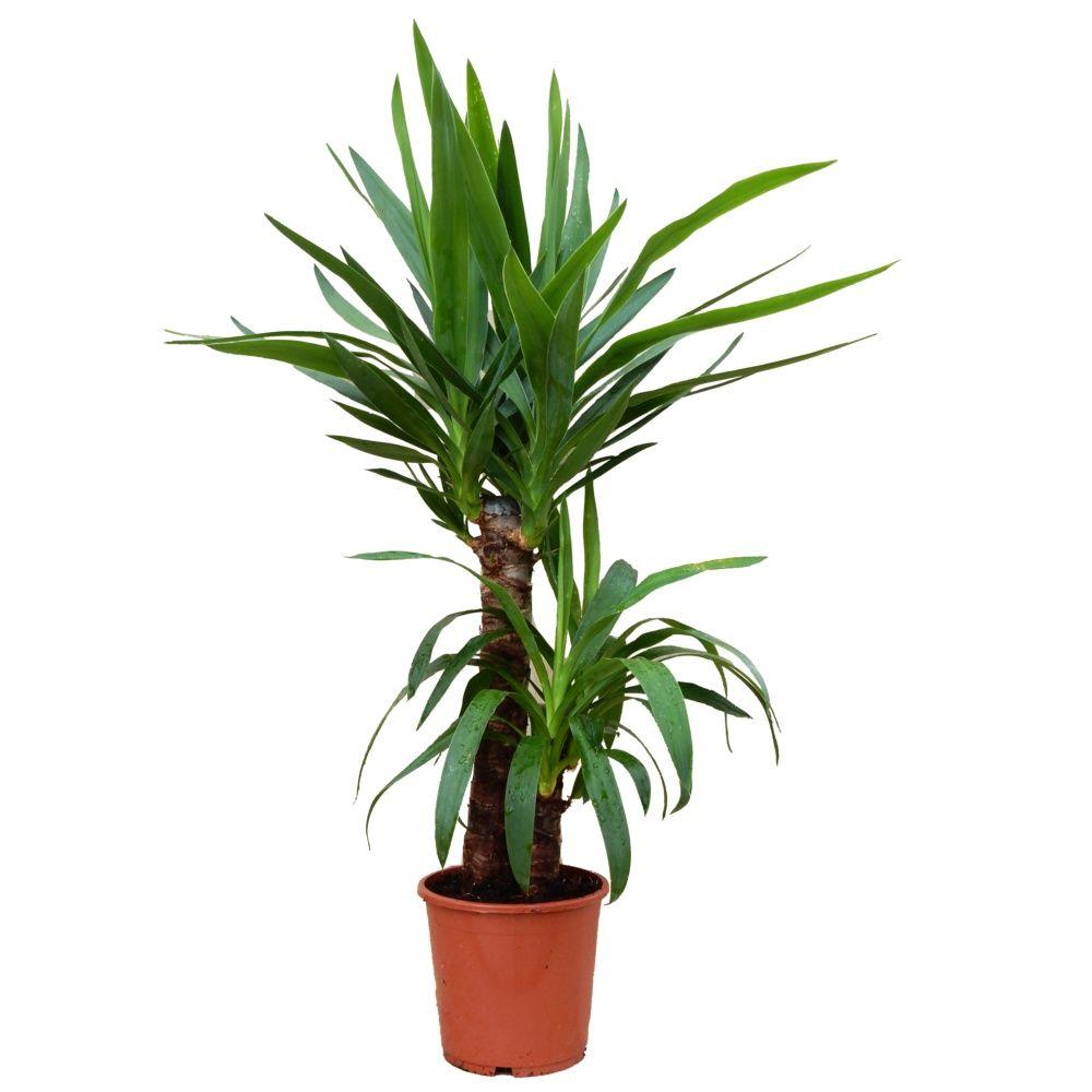 Yucca 2 cannes plantes et jardins - Plante interieur photo ...