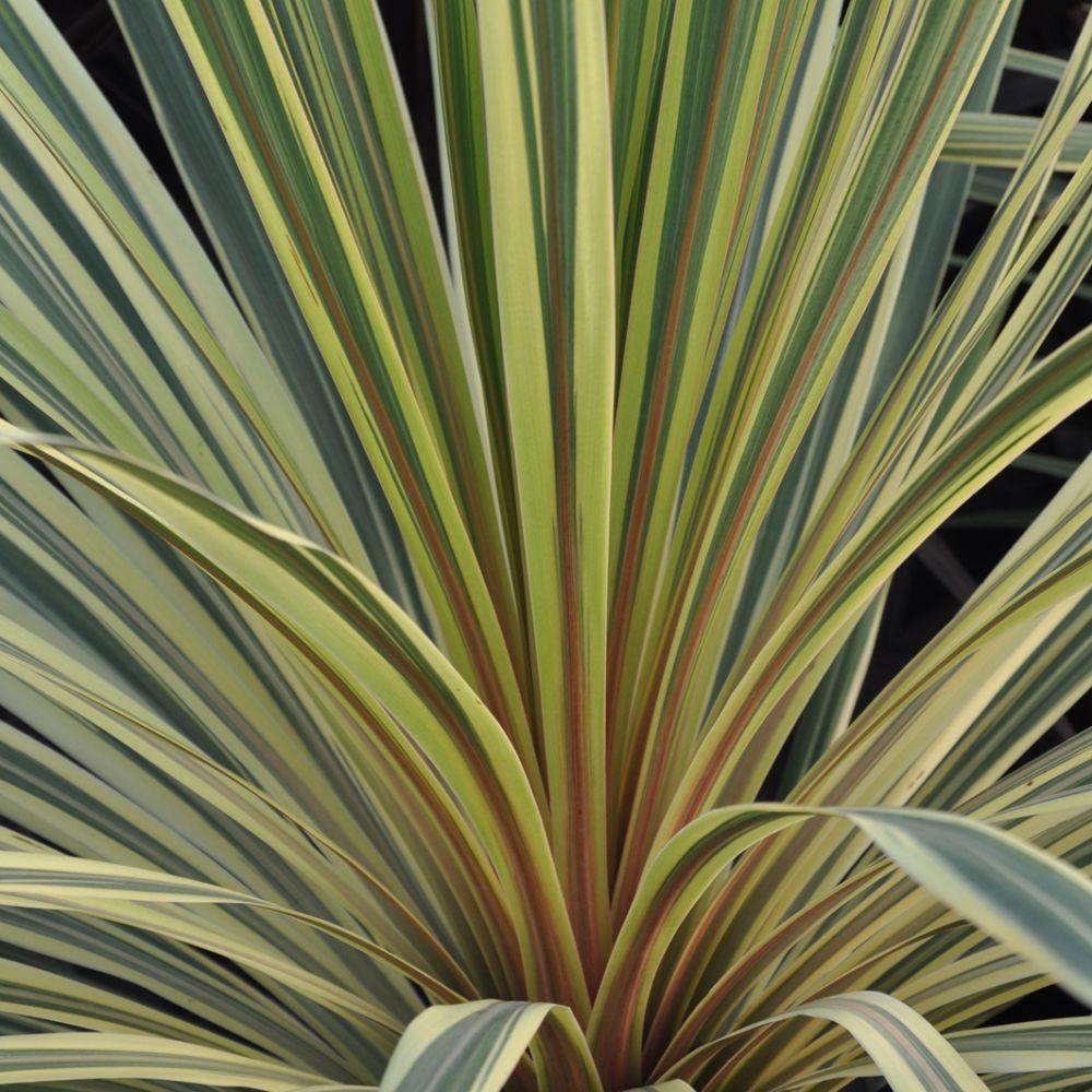cordyline australis albertii plantes et jardins. Black Bedroom Furniture Sets. Home Design Ideas