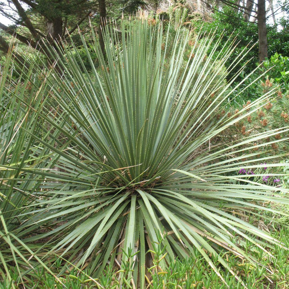 Dasylirion serratifolium plantes et jardins for Yucca exterieur rustique
