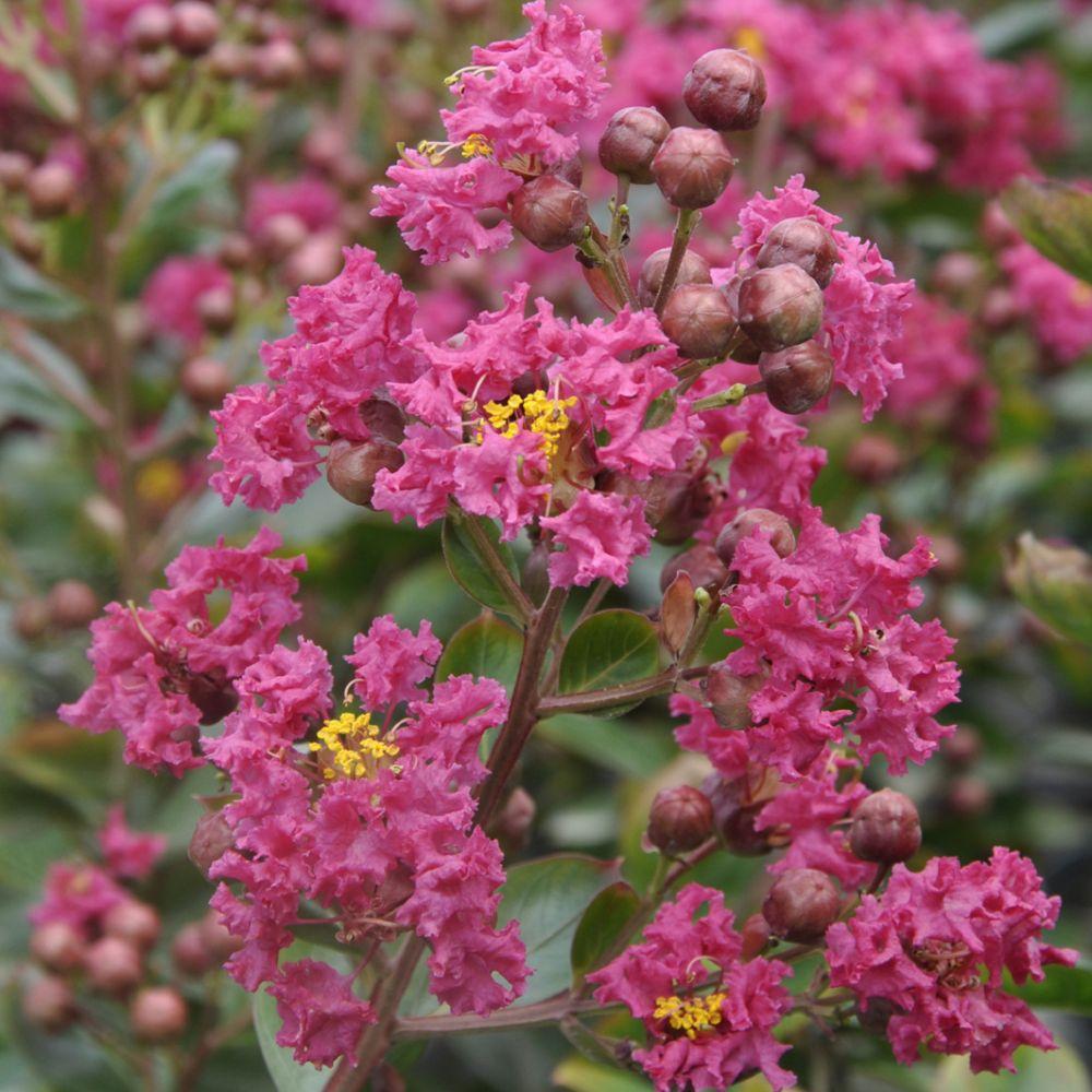Lilas des indes lagerstroemia braise d 39 t plantes et - Le lilas des indes ...