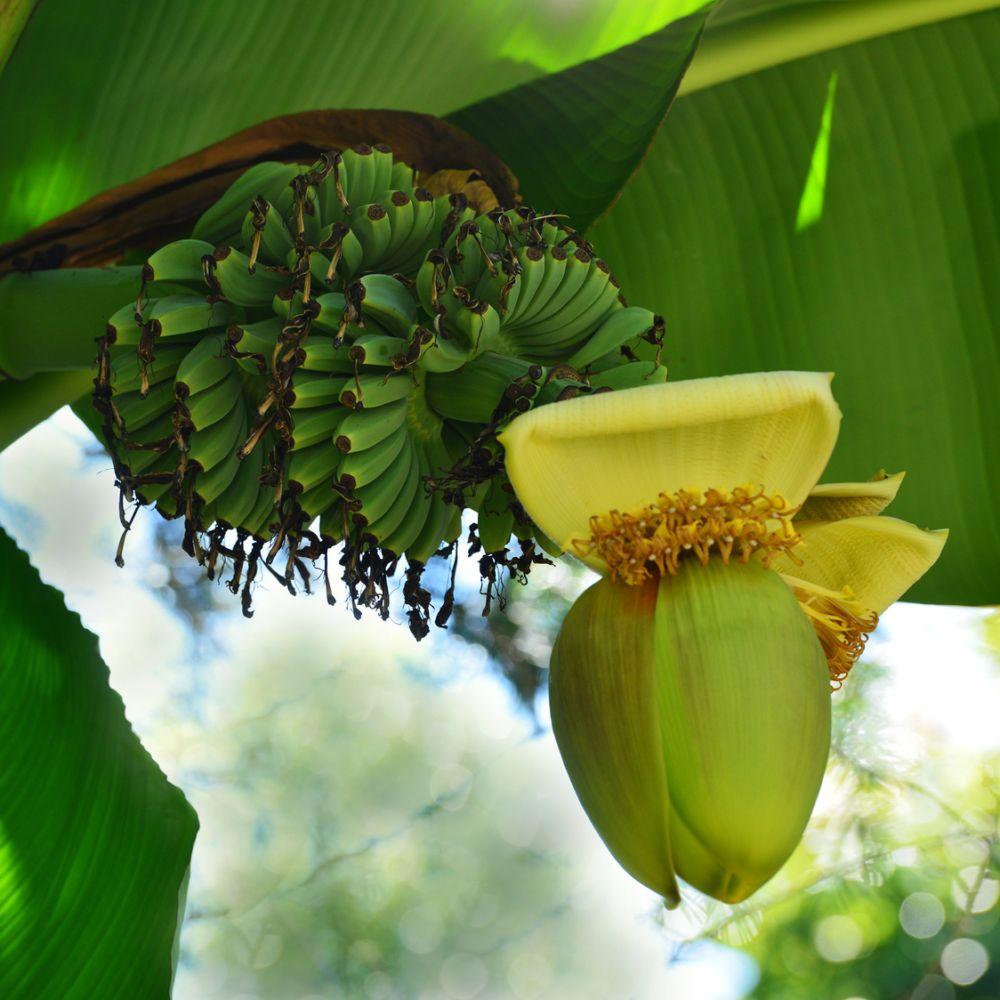 bananier musa basjoo plantes et jardins. Black Bedroom Furniture Sets. Home Design Ideas