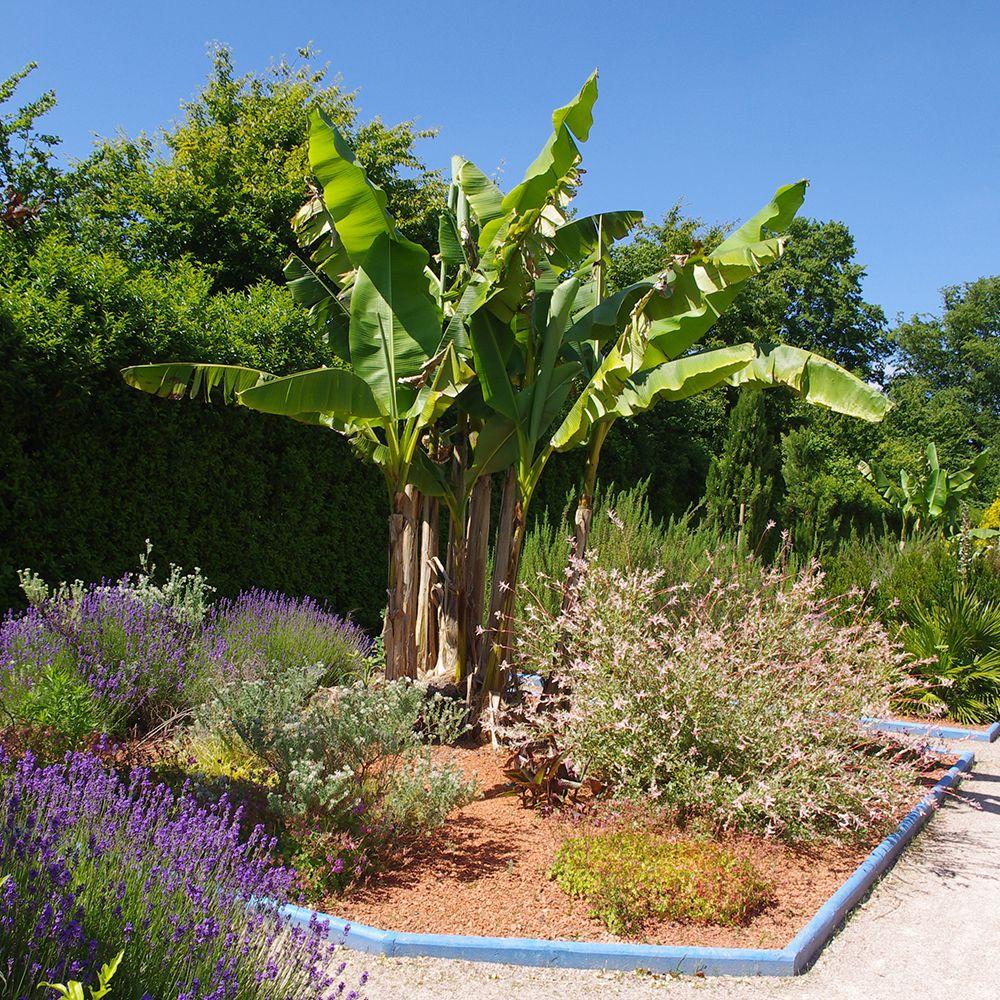 Bananier musa basjoo plantes et jardins for Plantes et jardins adresse