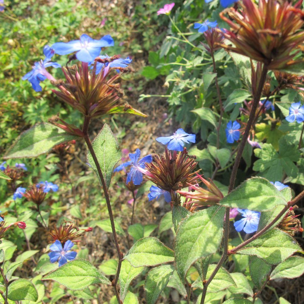 Ceratostigma plumbaginoides plantes et jardins for Plante et jardins