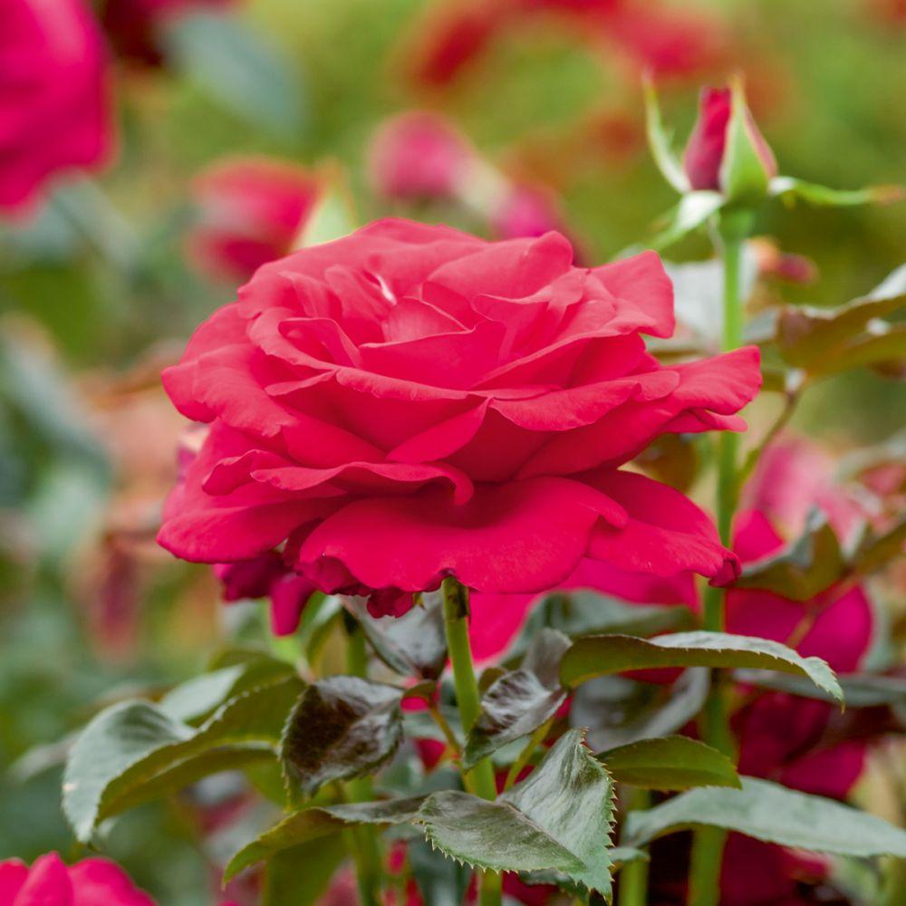 rosier buisson 39 le grand huit 39 plantes et jardins. Black Bedroom Furniture Sets. Home Design Ideas