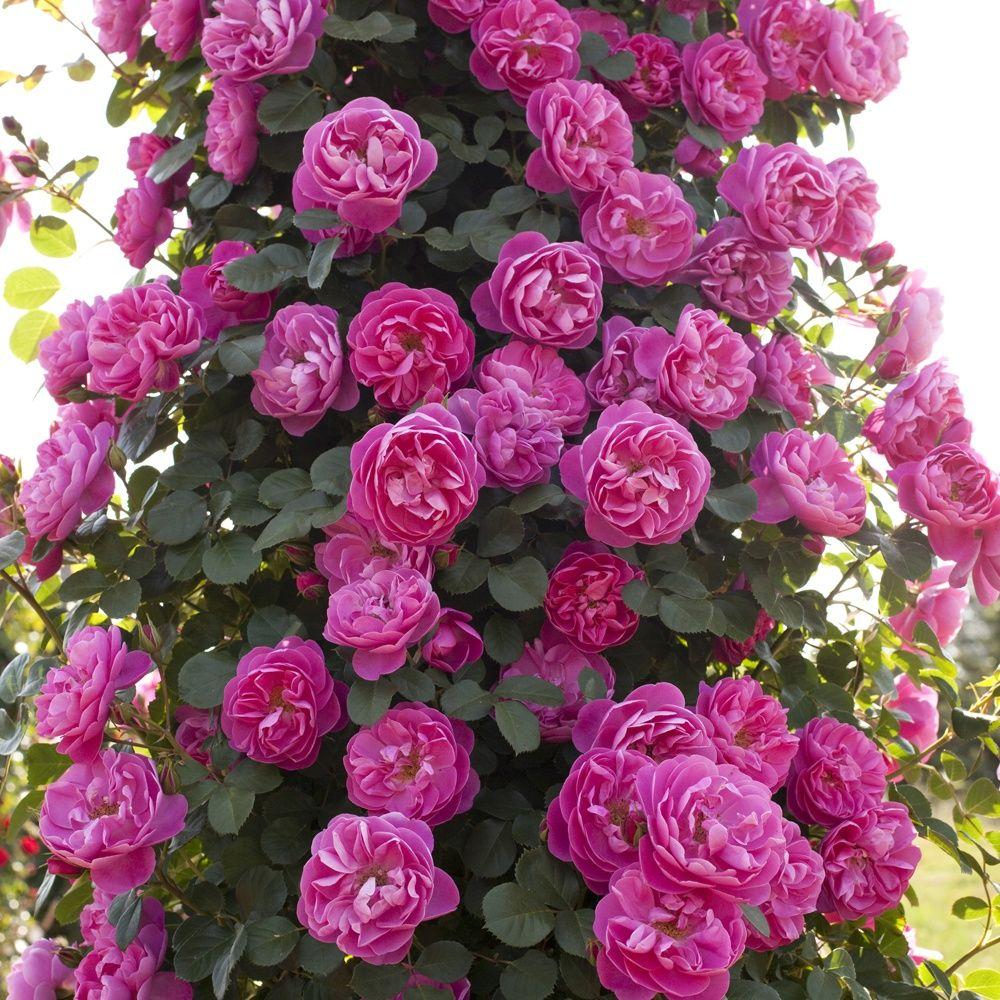 rosier grimpant 39 allegro 39 meileodevin rosier meilland plantes et jardins. Black Bedroom Furniture Sets. Home Design Ideas