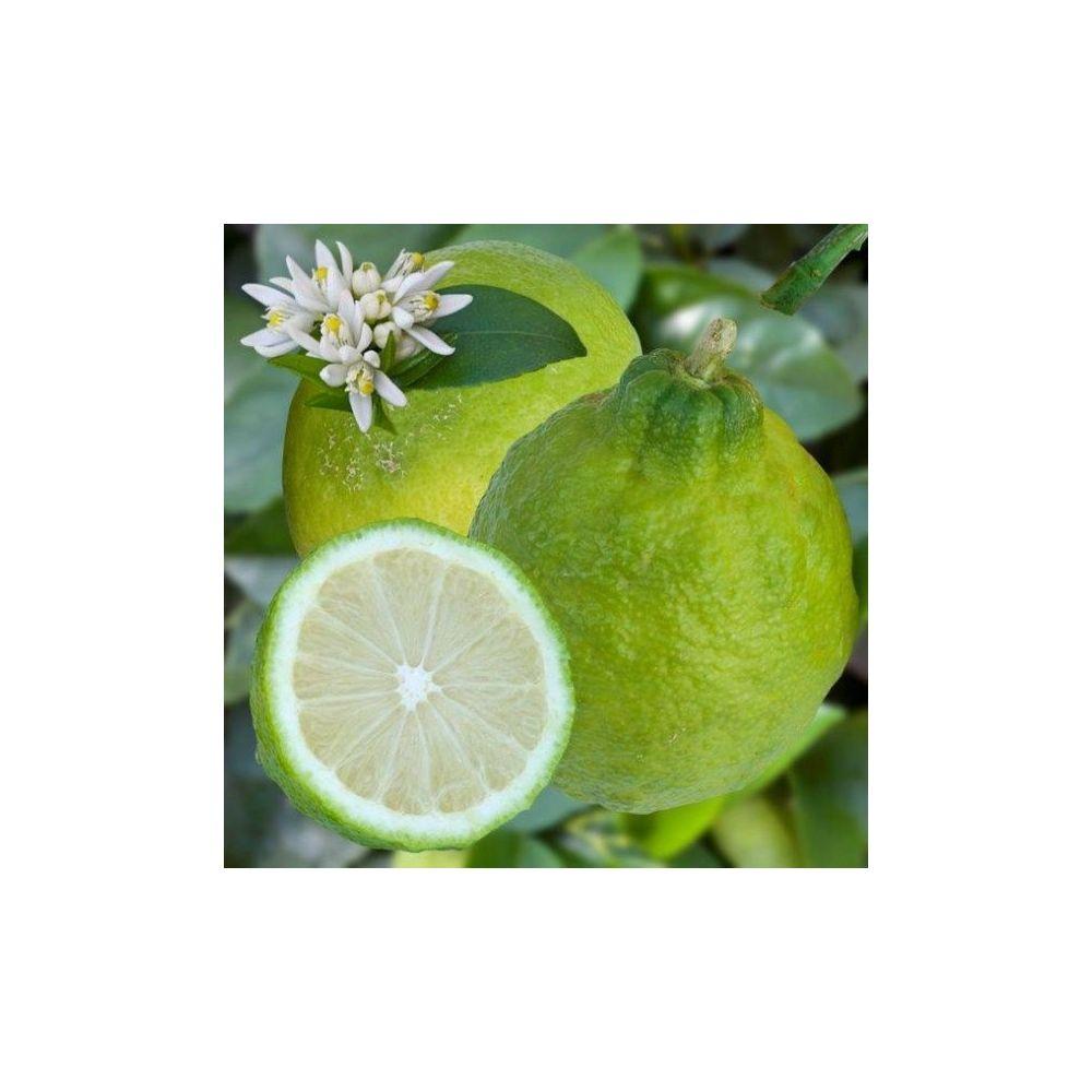 citronnier des antilles bio plantes et jardins. Black Bedroom Furniture Sets. Home Design Ideas