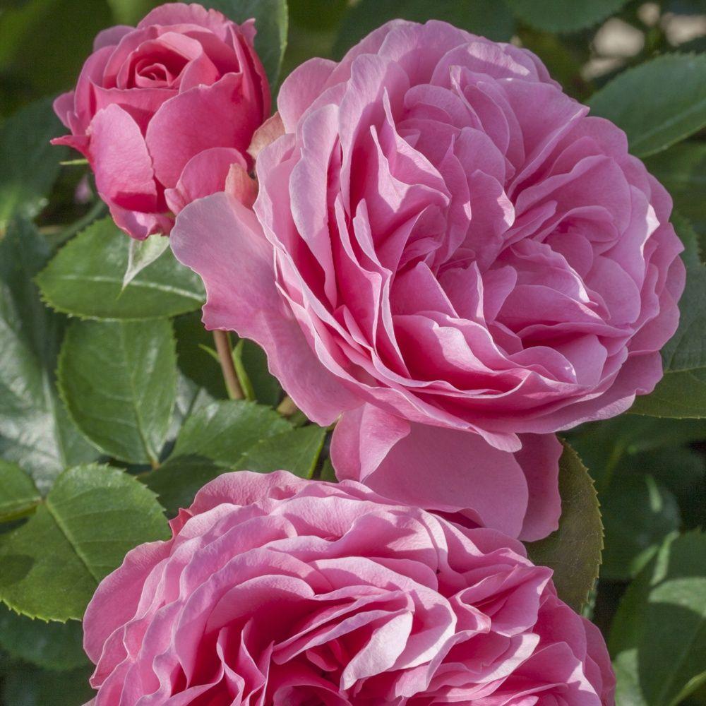 rosier 39 leonardo da vinci 39 meideauri rosier meilland plantes et jardins. Black Bedroom Furniture Sets. Home Design Ideas