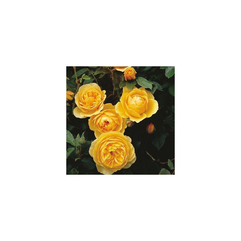 Rosier anglais 39 graham thomas 39 ausmas plantes et jardins for Planter en anglais