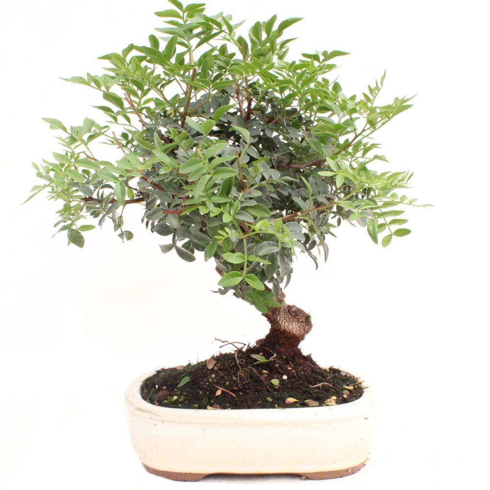 bonsa d 39 ext rieur pistachier 10 ans bo te cadeau plantes et jardins. Black Bedroom Furniture Sets. Home Design Ideas