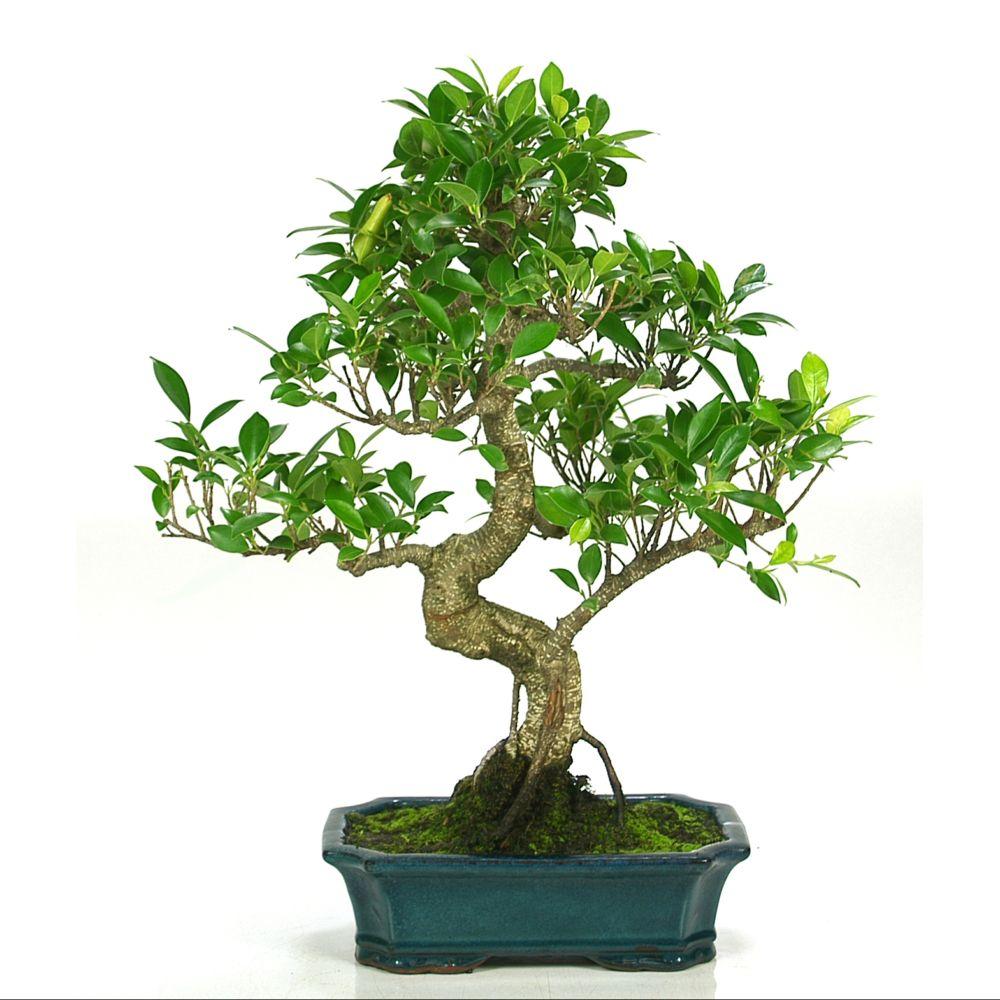 bonsa d 39 int rieur ficus retusa 10 ans bo te cadeau plantes et jardins. Black Bedroom Furniture Sets. Home Design Ideas