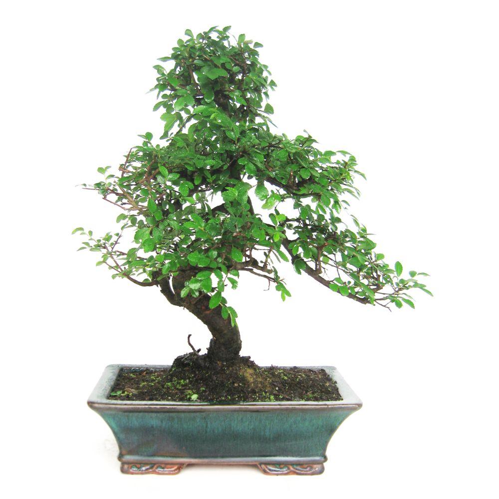 bonsa d 39 int rieur zelkova 10 ans bo te cadeau plantes et jardins. Black Bedroom Furniture Sets. Home Design Ideas