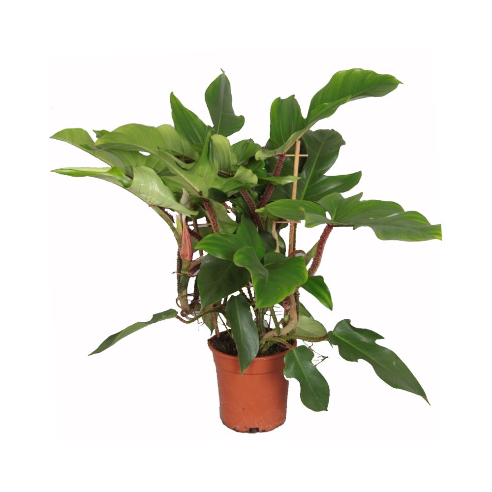 Philodendron squamiferum plantes et jardins for Plante et jardin catalogue