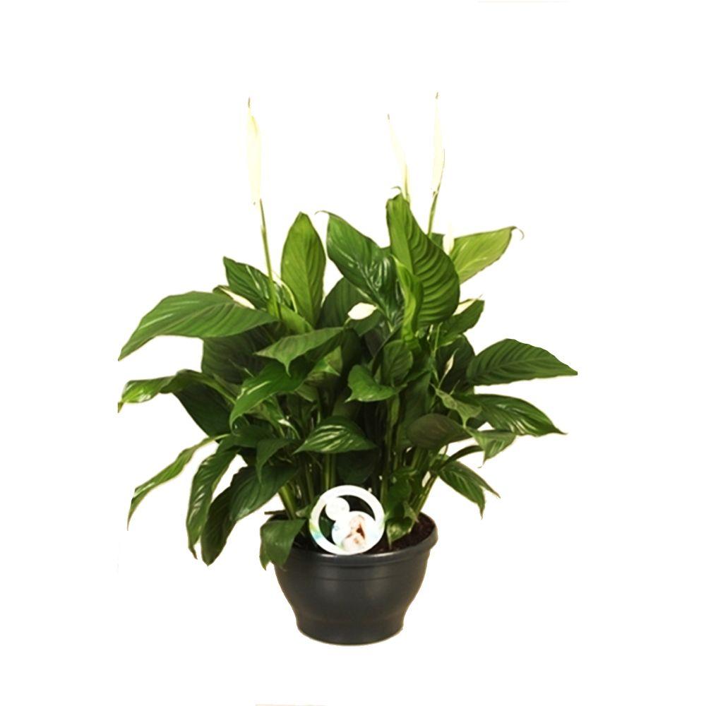 Spathiphylum lima xxl plantes et jardins for Jardin et plantes