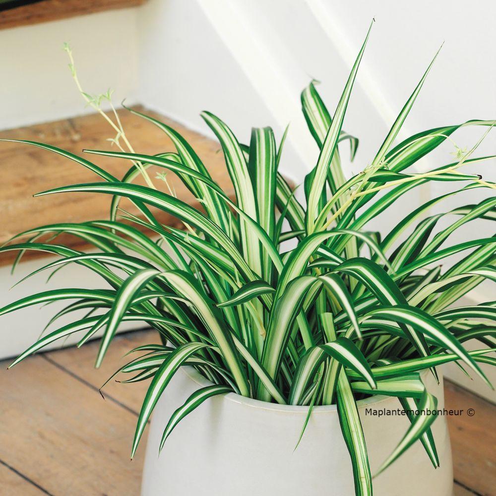 Chlorophytum elatum plantes et jardins - Puceron blanc plante verte ...